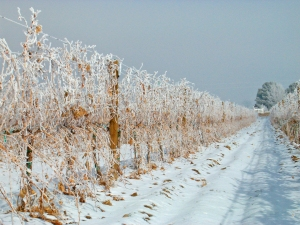 Cold weather can damage vines, especially the less-hardy European vinifera varietals.