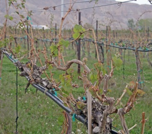 Wild Vines May 2013