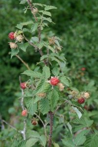 Wild raspberries, tiny but ultra-sweet, are common in the Colorado mountains.