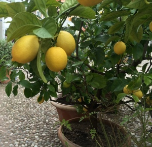 Lemon trees grow in large pots in the courtyard of Cason Hirschprunn