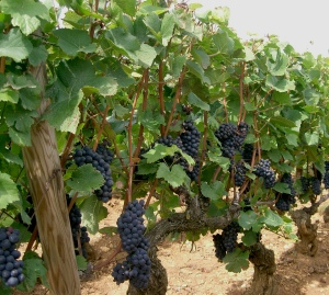 Clusters of pinot noir await harvest. Winemakers using whole-berry fermentation without de-stemming the clusters must wait until the stems are ripe or risk getting unwanted flavors in their wine.
