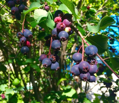 Ripe serviceberries are deep purple but the lighter berries also are edible.