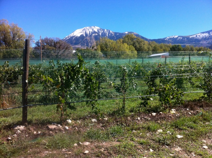 The concept of terroir , says winemaker Warren Winiarski, includes all things not man-made. In Colorado, that includes growing grapes at high elevation. These Gewurtztraminer vines, thriving at 6,200 feet elevation near Paonia, Co., are among the highest vineyards in North America.