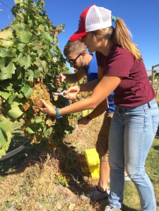 Morgan Bowen and Rob Hausmann, horticulture students at Colorado State University, harvest Chardonnay grapes during a weekend at the school's research vineyards and winery on Orchard Mesa. Bowen and Hausmann were among nine members of the student Vines to Wines club