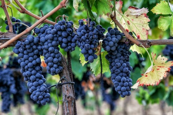 sagrantino-on-the-vine